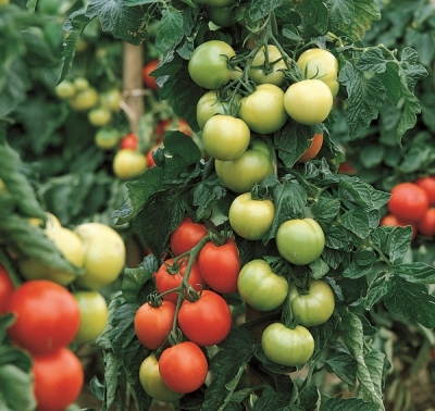 Pomidorai Giulietta